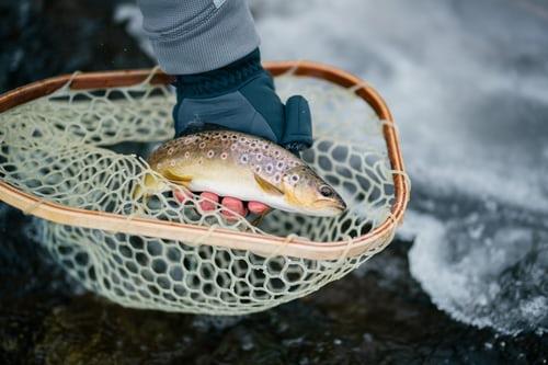 Broholm ørret er en flodfisk fra Skandinavien